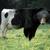 Cowbear