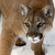 Cougarcat