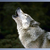 Wolf6537