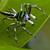 LysurusPeriphragmoides789
