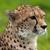 Cheetahgirl0009