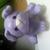 Lavenderbulldog