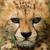 Cheetah Cethai
