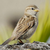 Magic Sparrow