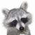 Raccoon696