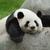 Drunk Panda