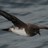 Pterodroma arminjoniana's avatar