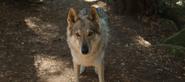 S04E04-Senior-Camping-Trip-056-Wolf