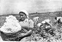 Armenian cotton