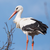 TheMajesticStork