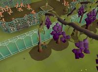 Harvesting grape vines.png