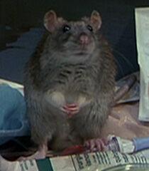 Rat-2-dr-dolittle-4.4.jpg