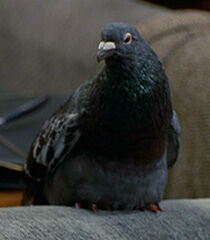 Pigeon-female-dr-dolittle-2.6.jpg