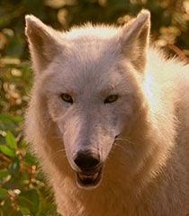 Wolf-male-dr-dolittle-2-2.19.jpg