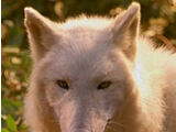 Wolf (Male)