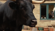 Bolero The Bull
