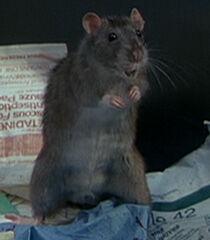 Rat-1-dr-dolittle-14.6.jpg