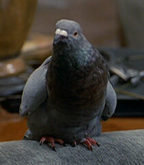 Pigeon-male-dr-dolittle-66.8.jpg