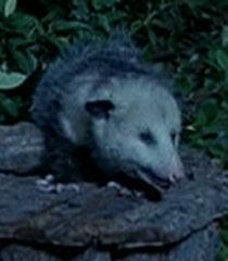 Possum-dr-dolittle-9.82.jpg
