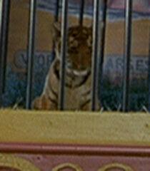 Baby-tiger-dr-dolittle-87.1.jpg