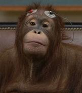 Orangutan-dr-dolittle-2.29