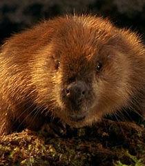 God-beaver-dr-dolittle-2-15.9.jpg