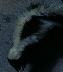Skunk-dr-dolittle-8.62.jpg
