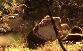 7x00 vultures.jpg