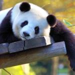 Pandagirl250's avatar