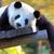 Pandagirl250