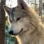 Wolfsbane776's avatar