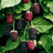 Boysenberries's avatar