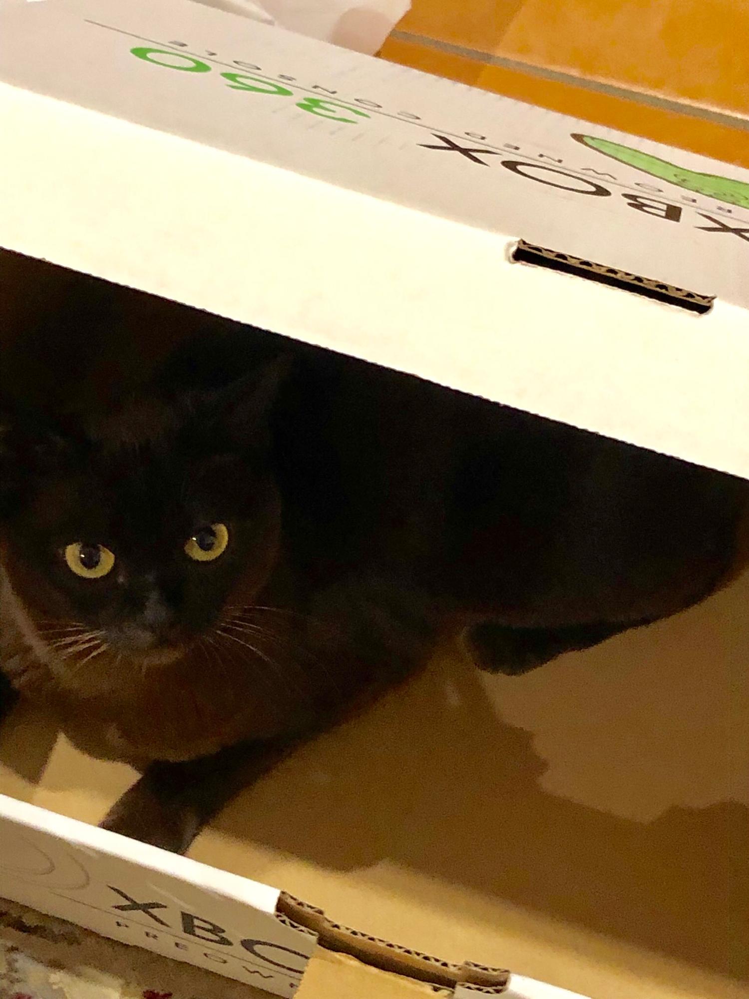 Gamer Cat Cinnamon 🐱