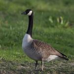 Goosethehonker