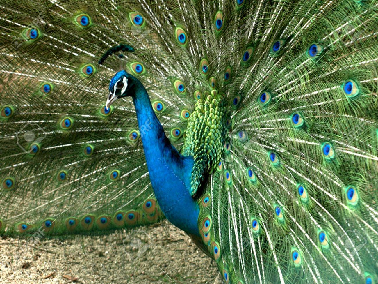 The King Peacock