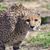 Cheetahrock63