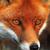 FoxyFox2004