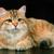 Янтарная Кошка