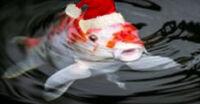 Koi fish207