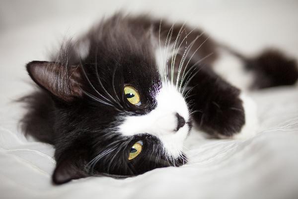 Tuxedo cat lying on side