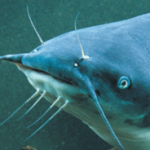 EdgeworthCatfish