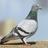 Bridgetthepigeon's avatar