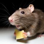 Вредная мышь