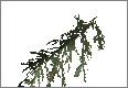 PineBranch02.png