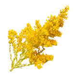 ResourceCropGoldenrodPlant.png
