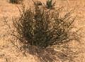 DesertShrubScreenshot.png