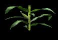 GrownUpCornStalk2.png