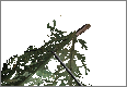PineBranch01.png
