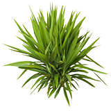 PlantYucca.png