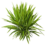 PlantYucca